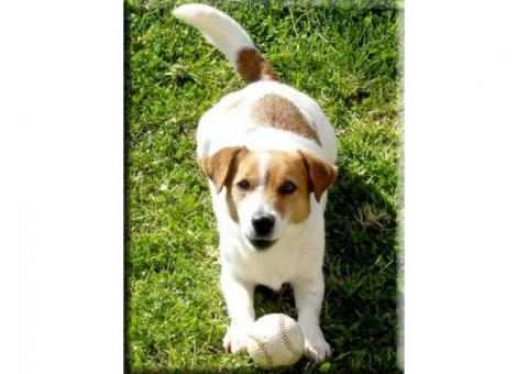 Violetta Jack Russell Kennel